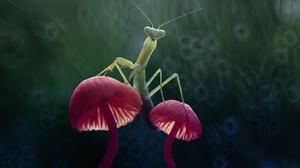 Bokeh Insect Macro Mushroom Praying Mantis 2500x1667 Wallpaper