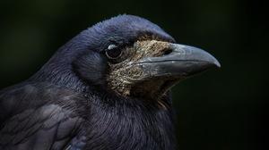 Beak Bird Crow 2560x1600 Wallpaper