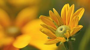 Black Eyed Susan Blur Close Up Flower Nature Yellow Flower 2048x1365 wallpaper