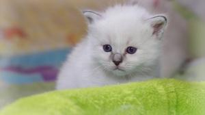 Kitten Ragdoll Pet Baby Animal 3002x2006 Wallpaper