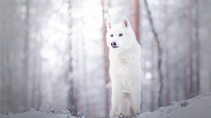 White Wildlife Winter Wolf Predator Animal 4407x2837 Wallpaper