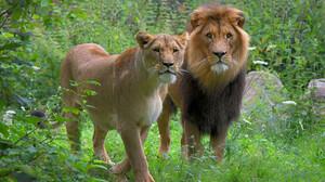 Nature Wildlife Feline Big Cats Mammals Lion 4000x2633 Wallpaper