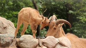Animal Goat 2880x1920 Wallpaper