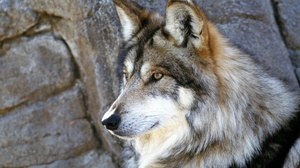 Animal Close Up Face Gray Wolf Wolf 2000x1333 Wallpaper