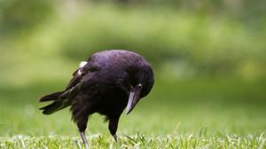 Bird Blur Crow Grass 3425x2283 Wallpaper