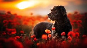 Depth Of Field Dog Flower Pet Poppy Red Flower 2048x1366 Wallpaper