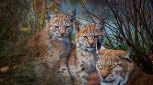 Baby Animal Big Cat Cub Lynx Wildlife Predator Animal 3840x2160 wallpaper