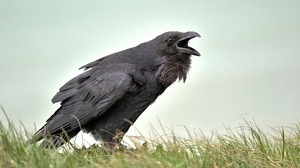 Animal Crow 2560x1600 Wallpaper