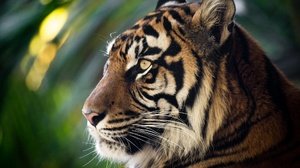 Big Cat Tiger Wildlife Predator Animal 2048x1463 Wallpaper