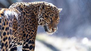 Big Cat Wildlife Predator Animal 5568x3712 Wallpaper