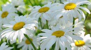 Chamomile Flower Nature Summer White Flower 2232x1484 Wallpaper
