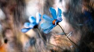 Bokeh Cosmos Flower 1280x854 Wallpaper