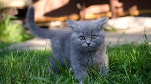 Grass Kitten British Shorthair Pet 2000x1325 wallpaper