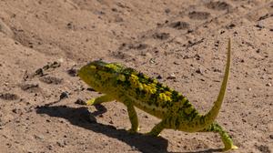 Animal Chameleon 3648x2736 Wallpaper