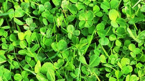 Clover Nature Plant 2576x1932 Wallpaper