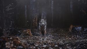 Wildlife Wolf Predator Animal 1920x1280 Wallpaper