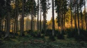 Forest Pine Tree 3840x2160 Wallpaper