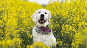 Dog Labrador Retriever Pet Rapeseed Yellow Flower 2048x1365 Wallpaper