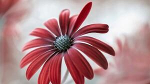 Daisy Earth Flower Petal Red Flower 1920x1206 Wallpaper