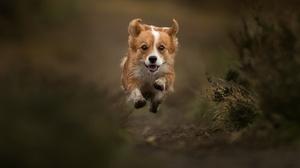 Corgi Dog Pet 2048x1280 Wallpaper