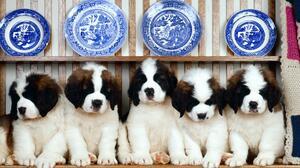Dog Puppy Animal St Bernard Cute 1999x1333 wallpaper