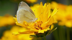 Butterfly Flower Insect Macro Yellow Flower 4000x2667 wallpaper