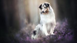 Border Collie Dog Pet 2048x1365 Wallpaper