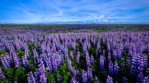 Field Flower Lupine Purple Flower Summer 3840x2160 Wallpaper