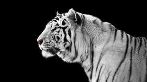 Animal White Tiger 4368x2912 Wallpaper