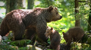 Baby Animal Bear Cub Wildlife Predator Animal 1920x1280 Wallpaper