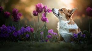 Corgi Dog Flower Pet Purple Flower Tulip 2048x1363 Wallpaper