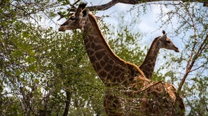 Giraffe Wildlife 2560x1600 wallpaper
