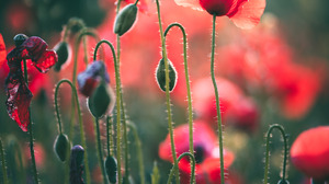 Flowers Nature Landscape Red Field Grass Plants Photography Leaves Green Poppies Evgeni Fabisuk 1536x2048 wallpaper