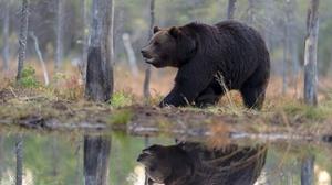 Bear Reflection Wildlife Predator Animal 5568x3712 Wallpaper