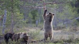Bear Cub Pine Tree Wildlife 2048x1280 Wallpaper