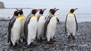 Animal Emperor Penguin Penguin 1920x1080 Wallpaper