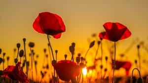 Flower Nature Poppy Red Flower Summer Sunset 2048x1365 Wallpaper