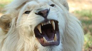 Big Cat White Lion Wildlife Predator Animal 1920x1280 wallpaper