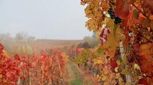 Fall Fog Nature Vineyard 5184x3456 Wallpaper
