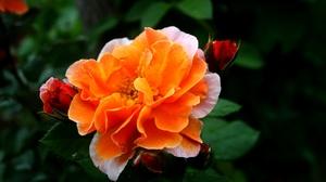 Rose Flower Garden Orange And Teal 3888x2592 wallpaper