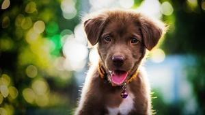 Baby Animal Bokeh Dog Labrador Retriever Pet Puppy 6260x4178 Wallpaper