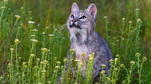 Big Cat Lynx Wildlife 3840x2560 Wallpaper