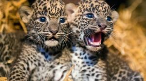 Baby Animal Cub 2000x1334 Wallpaper