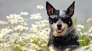 Daisy Dog Flower Sunglasses 1920x1200 wallpaper