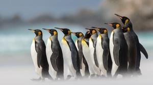 Bird Penguin Wildlife 2000x1414 Wallpaper