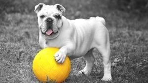 Ball Bulldog Dog English Bulldog Pet 1920x1289 wallpaper