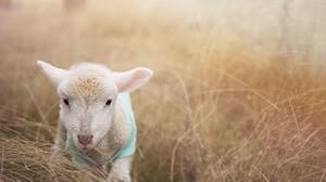 Lamb Close Up Grass Blur Baby Animal 7360x4912 wallpaper