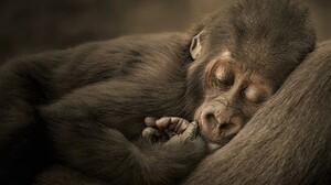 Animal Baby Animal Cute Gorilla Sleeping 2048x1517 Wallpaper