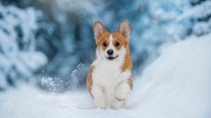 Corgi Dog Pet Snow Winter 2500x1634 Wallpaper