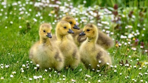 Baby Animal Bird Duck Duckling Wildlife 2048x1152 wallpaper